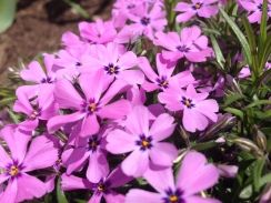 frivolous creeping phlox