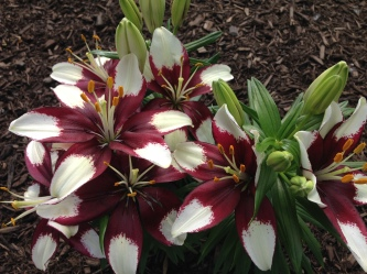 Lovely lilies!